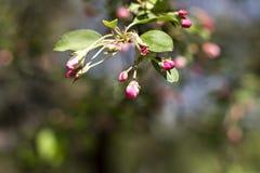 Άσπρα λουλούδια ανοίξεων της Apple σε έναν κλάδο δέντρων Στοκ Εικόνες