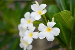 Άσπρα λουλούδια αποκαλούμενα Leelawadee στοκ φωτογραφίες