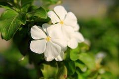 Άσπρα λουλούδια βιγκών στοκ φωτογραφία με δικαίωμα ελεύθερης χρήσης