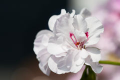 Άσπρα λουλούδια γερανιών με το υπόβαθρο bokeh - χαρακτηριστικό λουλούδι μπαλκονιών Στοκ Εικόνες