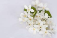 Άσπρα λουλούδια γύρης πετάλων κίτρινα Στοκ Εικόνα