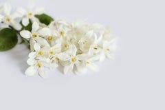 Άσπρα λουλούδια γύρης πετάλων κίτρινα Στοκ Φωτογραφία