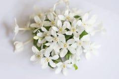 Άσπρα λουλούδια γύρης πετάλων κίτρινα Στοκ εικόνες με δικαίωμα ελεύθερης χρήσης
