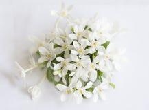 Άσπρα λουλούδια γύρης πετάλων κίτρινα Στοκ Φωτογραφίες