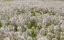 Άσπρα λουλούδια λεπτομέρειας (Thlaspi) στο λιβάδι Στοκ εικόνα με δικαίωμα ελεύθερης χρήσης