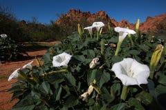 Άσπρα λουλούδια ερήμων στη Νεβάδα Στοκ εικόνες με δικαίωμα ελεύθερης χρήσης