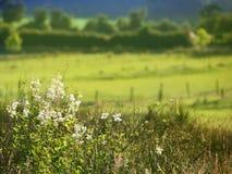 Άσπρα λουλούδια και λιβάδι τομέων Στοκ φωτογραφία με δικαίωμα ελεύθερης χρήσης