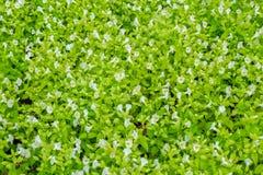Άσπρα λουλούδια και πράσινα φύλλα που ανθίζουν στον κήπο για τη φύση Στοκ εικόνα με δικαίωμα ελεύθερης χρήσης
