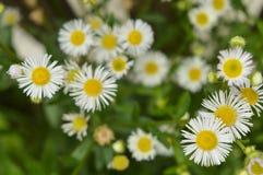Άσπρα λουλούδια και πράσινη χλόη στον κήπο Στοκ φωτογραφία με δικαίωμα ελεύθερης χρήσης