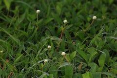 Άσπρα λουλούδια και πτώσεις της δροσιάς πρωινού Στοκ Εικόνες