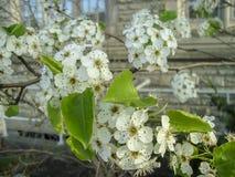Άσπρα λουλούδια κερασιών που ανθίζουν στην άνοιξη Στοκ Εικόνες