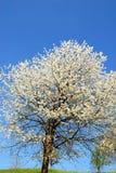 Άσπρα λουλούδια κερασιών στο μπλε ουρανό Στοκ φωτογραφία με δικαίωμα ελεύθερης χρήσης