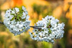 Άσπρα λουλούδια κερασιών Στοκ εικόνες με δικαίωμα ελεύθερης χρήσης