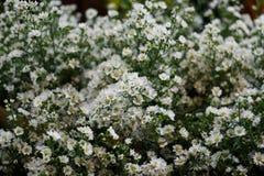 Άσπρα λουλούδια κοπτών Στοκ Εικόνες