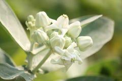 Άσπρα λουλούδια κορωνών (giantea Calotropis), τροπικό λουλούδι Στοκ Εικόνες