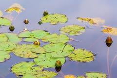 Άσπρα λουλούδια κρίνων νερού Στοκ Εικόνα