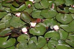 Άσπρα λουλούδια κρίνων νερού Στοκ φωτογραφίες με δικαίωμα ελεύθερης χρήσης