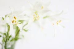 Άσπρα λουλούδια κρίνων Στοκ Εικόνες