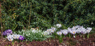 άσπρα λουλούδια κρόκων Στοκ εικόνα με δικαίωμα ελεύθερης χρήσης