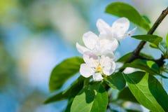 Άσπρα λουλούδια μήλων σε έναν κλάδο δέντρων Στοκ Φωτογραφίες