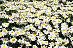Άσπρα λουλούδια μαργαριτών σε ένα λιβάδι Στοκ φωτογραφία με δικαίωμα ελεύθερης χρήσης