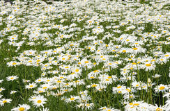 Άσπρα λουλούδια μαργαριτών στο λιβάδι. Στοκ φωτογραφία με δικαίωμα ελεύθερης χρήσης