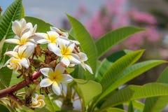 Άσπρα λουλούδια με πράσινο Στοκ Φωτογραφίες