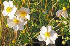 Άσπρα λουλούδια με τα κίτρινα κέντρα Στοκ εικόνα με δικαίωμα ελεύθερης χρήσης