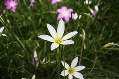 Άσπρα λουλούδια με τα κίτρινα stamens, ο κήπος λουλουδιών στην αυγή Στοκ εικόνες με δικαίωμα ελεύθερης χρήσης