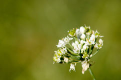 Άσπρα λουλούδια με τα νεκρά φύλλα Στοκ φωτογραφία με δικαίωμα ελεύθερης χρήσης