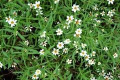 Άσπρα λουλούδια με τα πράσινα φύλλα Στοκ φωτογραφία με δικαίωμα ελεύθερης χρήσης