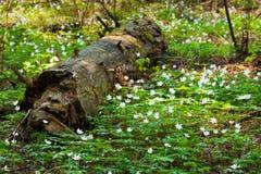 Άσπρα λουλούδια με το ξηρό δέντρο στο δάσος Στοκ Εικόνες