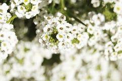 Άσπρα λουλούδια πέρα από το θολωμένο υπόβαθρο στοκ φωτογραφίες με δικαίωμα ελεύθερης χρήσης