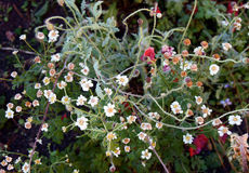 Άσπρα λουλούδια παγετού πρωινού Στοκ φωτογραφία με δικαίωμα ελεύθερης χρήσης
