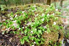 Άσπρα λουλούδια, πράσινα φύλλα Πράσινη ανασκόπηση Στοκ εικόνες με δικαίωμα ελεύθερης χρήσης