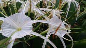 Άσπρα λουλούδια, πράσινα φύλλα όμορφα Στοκ Εικόνες