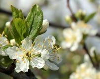 Άσπρα λουλούδια σε ένα δέντρο δαμάσκηνων Στοκ εικόνα με δικαίωμα ελεύθερης χρήσης