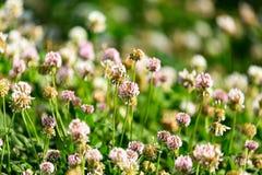 Άσπρα λουλούδια σε ένα τριφύλλι Στοκ εικόνες με δικαίωμα ελεύθερης χρήσης