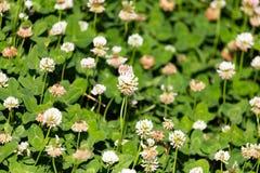 Άσπρα λουλούδια σε ένα τριφύλλι Στοκ Φωτογραφίες