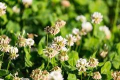 Άσπρα λουλούδια σε ένα τριφύλλι Στοκ φωτογραφίες με δικαίωμα ελεύθερης χρήσης