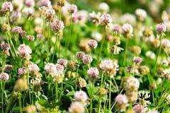 Άσπρα λουλούδια σε ένα τριφύλλι Στοκ φωτογραφία με δικαίωμα ελεύθερης χρήσης