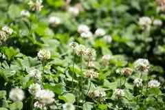 Άσπρα λουλούδια σε ένα τριφύλλι Στοκ Εικόνες