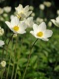 Άσπρα λουλούδια στην πράσινη ανασκόπηση Στοκ φωτογραφία με δικαίωμα ελεύθερης χρήσης