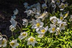 Άσπρα λουλούδια στον πάγκο με τα φύλλα Στοκ εικόνες με δικαίωμα ελεύθερης χρήσης