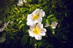 Άσπρα λουλούδια στον πάγκο με τα φύλλα Στοκ Εικόνες