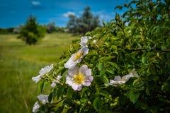 Άσπρα λουλούδια στον πάγκο με τα φύλλα Στοκ φωτογραφία με δικαίωμα ελεύθερης χρήσης