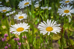 Άσπρα λουλούδια στον πάγκο με τα φύλλα Στοκ φωτογραφίες με δικαίωμα ελεύθερης χρήσης