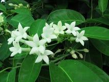 Άσπρα λουλούδια στον πράσινο θάμνο Στοκ εικόνες με δικαίωμα ελεύθερης χρήσης
