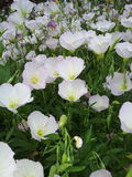 Άσπρα λουλούδια στον τομέα στοκ φωτογραφία