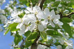 Άσπρα λουλούδια στο δέντρο μηλιάς Στοκ Φωτογραφίες